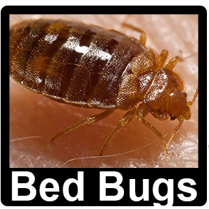 Bedbugs - Pest Control Altrincham, Manchester, Stockport - Rats, Mice, Ants, Rodents, Birds, Pigeons