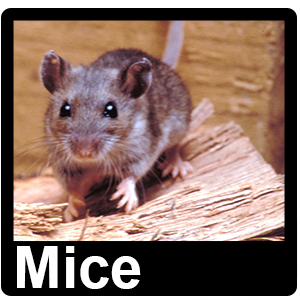 Mice - Pest Control Altrincham, Manchester, Stockport - Rats, Mice, Ants, Rodents, Birds, Pigeons