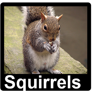 Squirrel - Pest Control Altrincham, Manchester, Stockport - Rats, Mice, Ants, Rodents, Birds, Pigeons