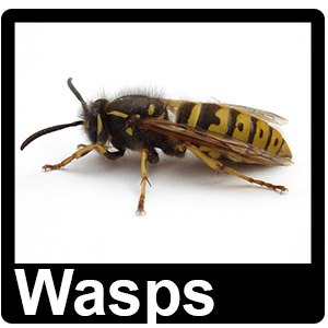 Wasps - Pest Control Greater Manchester - Rats, Mice, Ants, Rodents, Birds, Pigeons